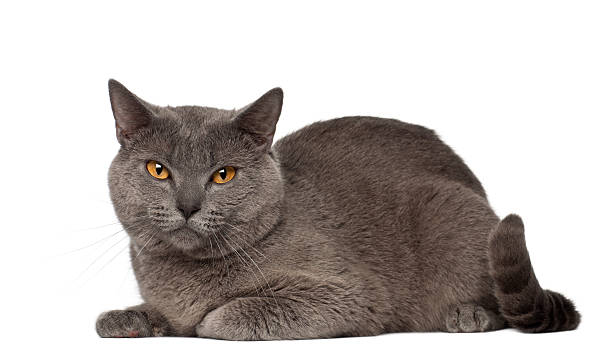 portrait of chartreux cat, 1 and a half years old, - one animal stock photos and pictures