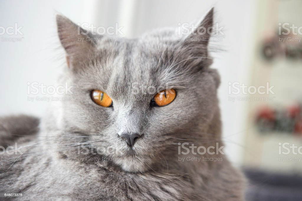 Portrait of Chartreux cat stock photo