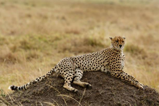 portrait of Cheetah on a mound in Masai Mara Grassland stock photo