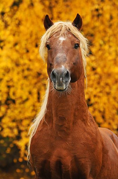portrait of chestnut horse in autumn stock photo