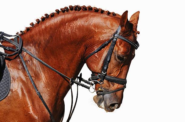 Porträt von Kastanie Pferd isoliert – Foto