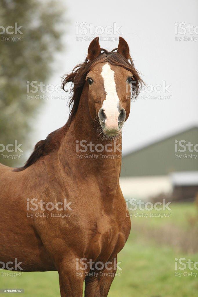 Portrait of chestnut welsh pony royalty-free stock photo