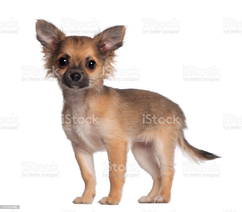 Portrait of Chihuahua, 3 and a half months old, standing stock photo