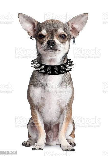 Portrait of chihuahua with face piercings and spiked collar picture id118439051?b=1&k=6&m=118439051&s=612x612&h=8omldp1e8ndmzasf 38t4mhy6lhzchdukognews7vs8=