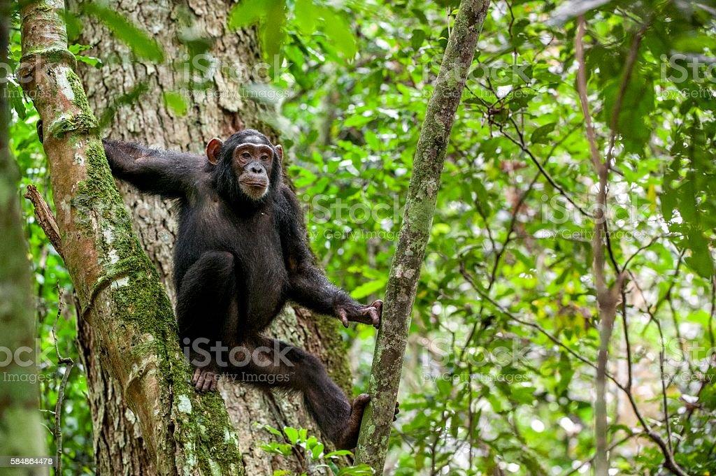 Portrait of chimpanzee stock photo