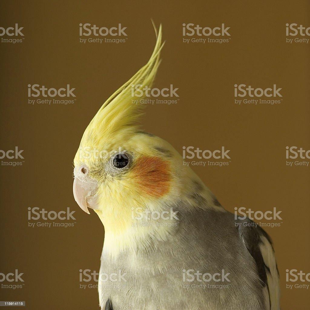 Portrait of Cockatiel stock photo
