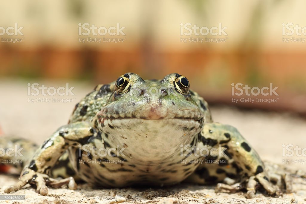 portrait of colorful marsh frog stock photo