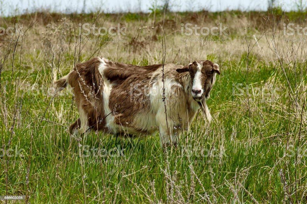 Portrait of coloured goat on the mountain  meadow, mountain Plana stock photo