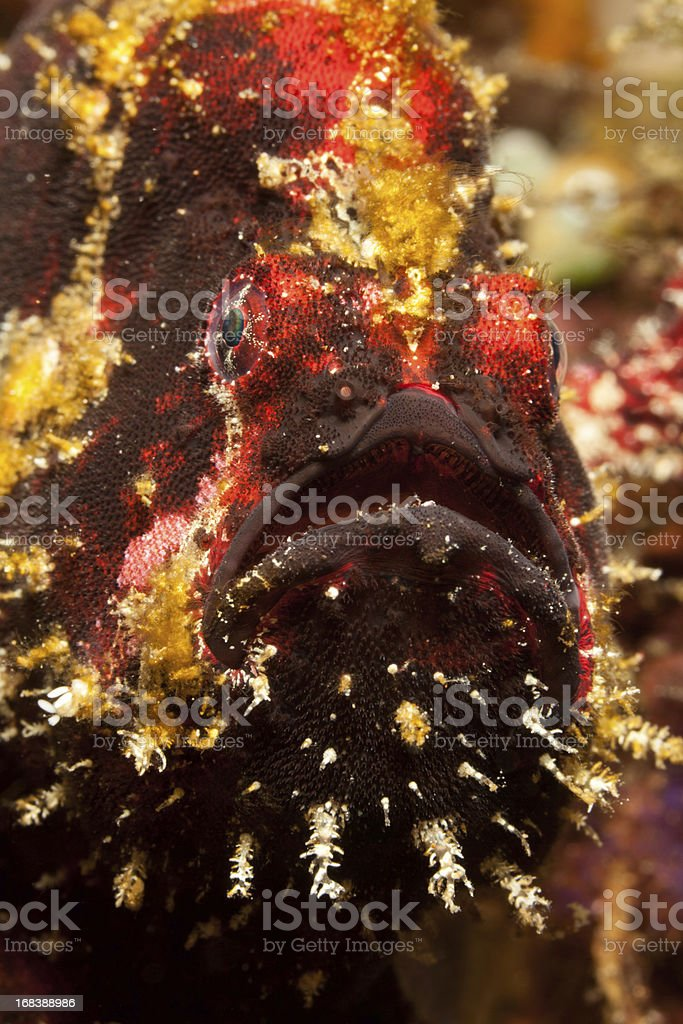 Portrait of  Commerson's Frogfish Antennarius commerson, Lembeh Strait, Sulawesi, Indonesia stock photo