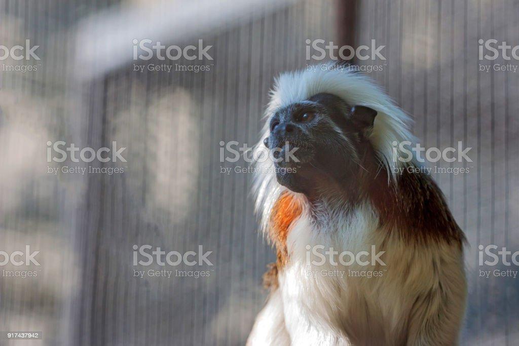Portrait of Cotton-top tamarin or Saguinus Oedipus stock photo