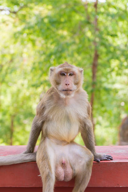 Portrait of crab-eating macaque in national park, Thai monkey - foto stock