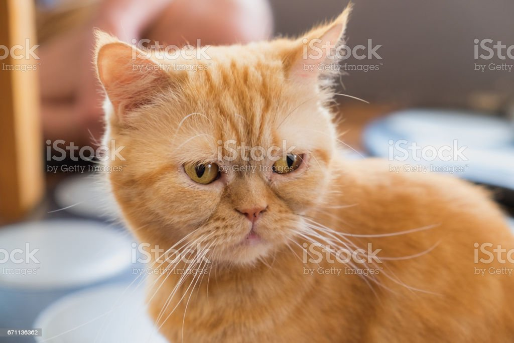 Portrait of cream british shorthair cat stock photo