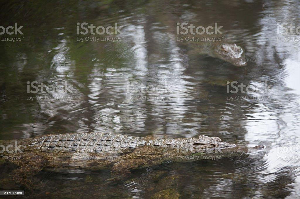 portrait of crocodiles stock photo
