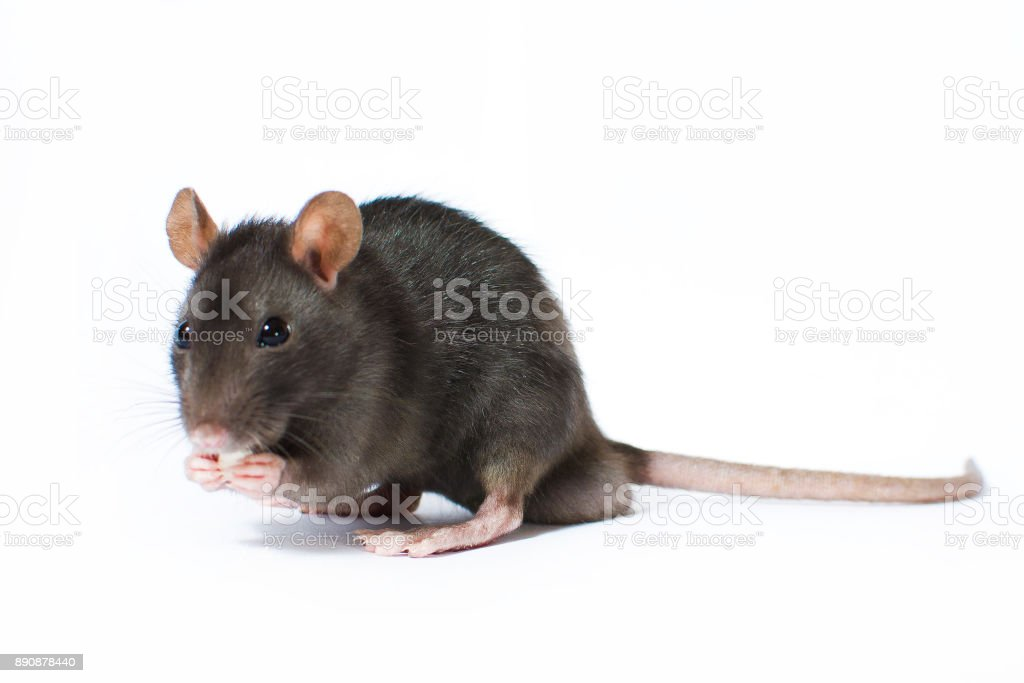 Portrait of curious gray rat isolated on white background stock photo
