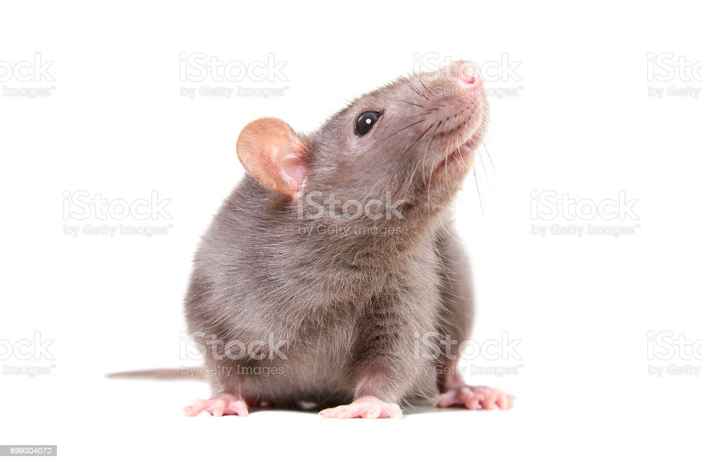 Portrait of curious gray rat stock photo
