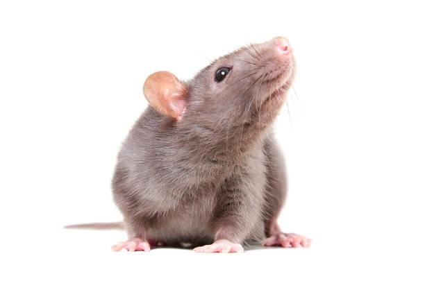 Portrait of curious gray rat stock photo