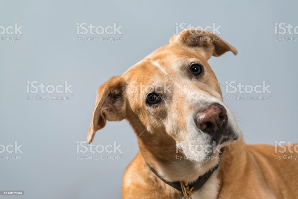 A portrait of curious mixed breed dog with tilted head - rescued dog stock photo