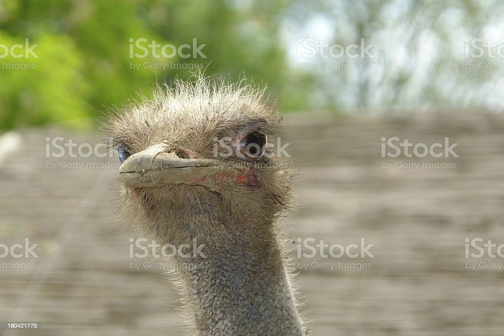Portrait of curious ostrich head closeup royalty-free stock photo