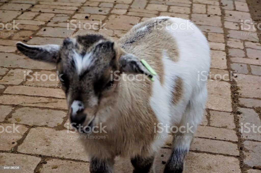Portrait of cute baby goat in the zoo stock photo