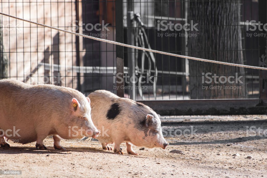 portrait of cute baby pigs eating stock photo