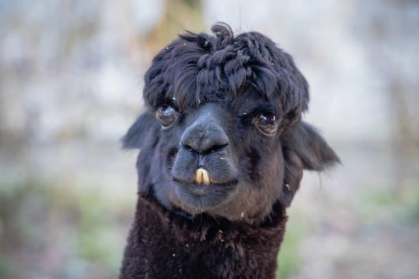 portrait of cute black llama face stock photo