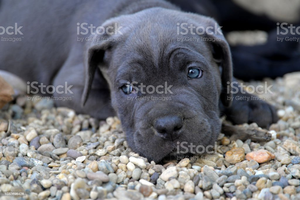 Portrait Of Cute Blue Eyes Mastiff Puppy Stock Photo Download Image Now Istock