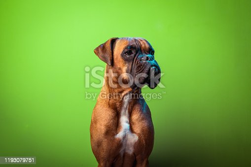 Portrait of cute boxer dog on colorful backgrounds, green