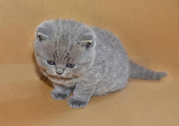 porträt von niedlichen britische blau kätzchen. - kurze haare flechten stock-fotos und bilder