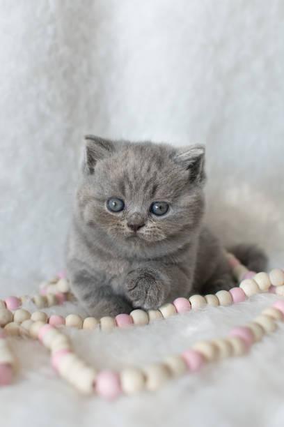 porträt von niedlichen britische blau kätzchen mit holzperlen sitzt auf einem hellen fell teppich. - kurze haare flechten stock-fotos und bilder