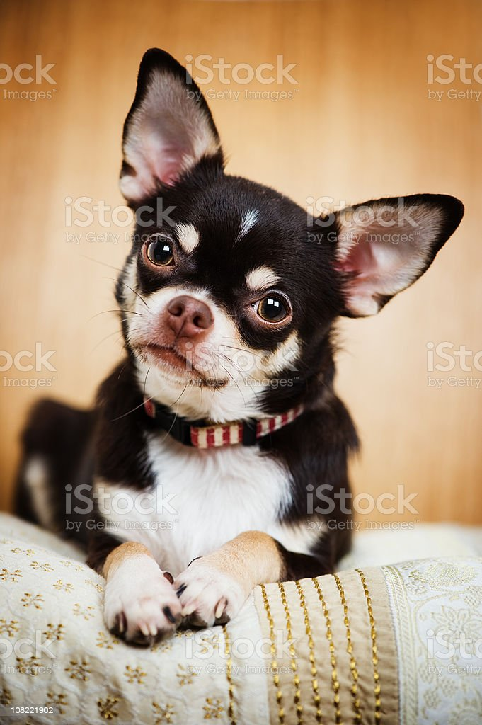 Portrait of Cute Chihuahua royalty-free stock photo