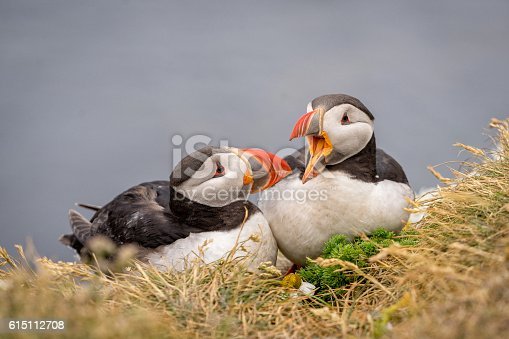 istock Portrait of cute couple of Atlantic Puffins. 615112708
