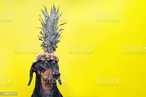 Portrait of cute dachshund dog black and tan holding pineapple on on picture id1138015177?b=1&k=6&m=1138015177&s=612x612&h=1vola5 yilcwgsjty320ij38br2huchtldxx8vw agy=