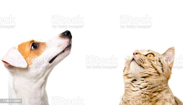 Portrait of cute dog jack russell terrier and cat scottish straight picture id1180215350?b=1&k=6&m=1180215350&s=612x612&h=7wvpnzgivty3vgzspeyafvxcwc6fplnpw61iptctpow=