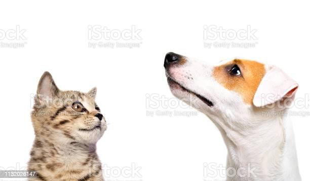 Portrait of cute dog jack russell terrier and kitten scottish side picture id1132026147?b=1&k=6&m=1132026147&s=612x612&h=qrwtgrof1y0pwr7ajvedudpst5b2lfttjrzwpwoqu5q=