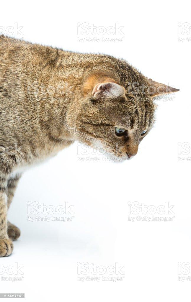 Portrait of cute European kitten stock photo