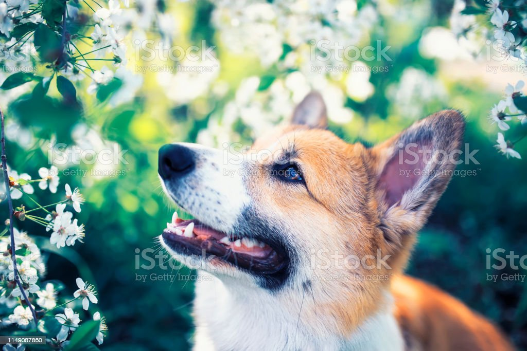 Portrait Of Cute Funny Red Dog Puppy Corgi Sitting On Natural Background Of Flowering Shrubs In Spring Evening May Garden And Looking Up Stock Photo Download Image Now Istock