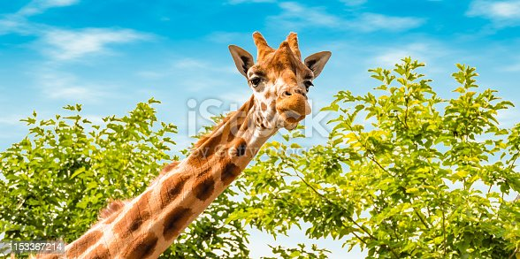 Portrait of giraffe in nature. Giraffe looking forward, green trees and blue sky in the background. Wildlife banner.