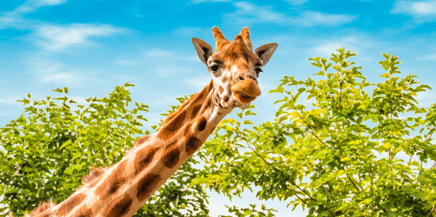 Portrait of cute giraffe Portrait of giraffe in nature. Giraffe looking forward, green trees and blue sky in the background. Wildlife banner. zoo stock pictures, royalty-free photos & images
