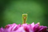 A close up shot of a small green praying mantis sitting on a pretty pink flower.