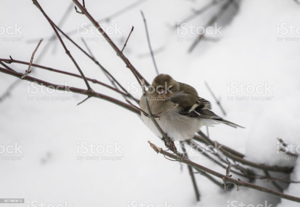 portrait of cute hungry sparrow not used to cold temperatures and snowy winter, searching for food, isolated on tree branch - Royalty-free Animal Stock Photo