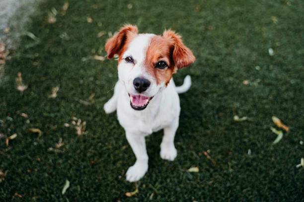 portrait of cute jack russell dog smiling outdoors sitting on the grass, summer time stock photo