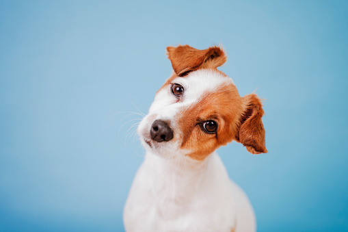 portrait of cute jack russell over blue background. Colorful, spring or summer concept