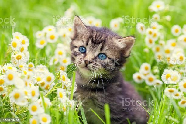 Portrait of cute little kitten outdoors in flowers picture id485575238?b=1&k=6&m=485575238&s=612x612&h=kymnxtsugwswyqshz3mv6ikmdykhodphhjimypvyyao=