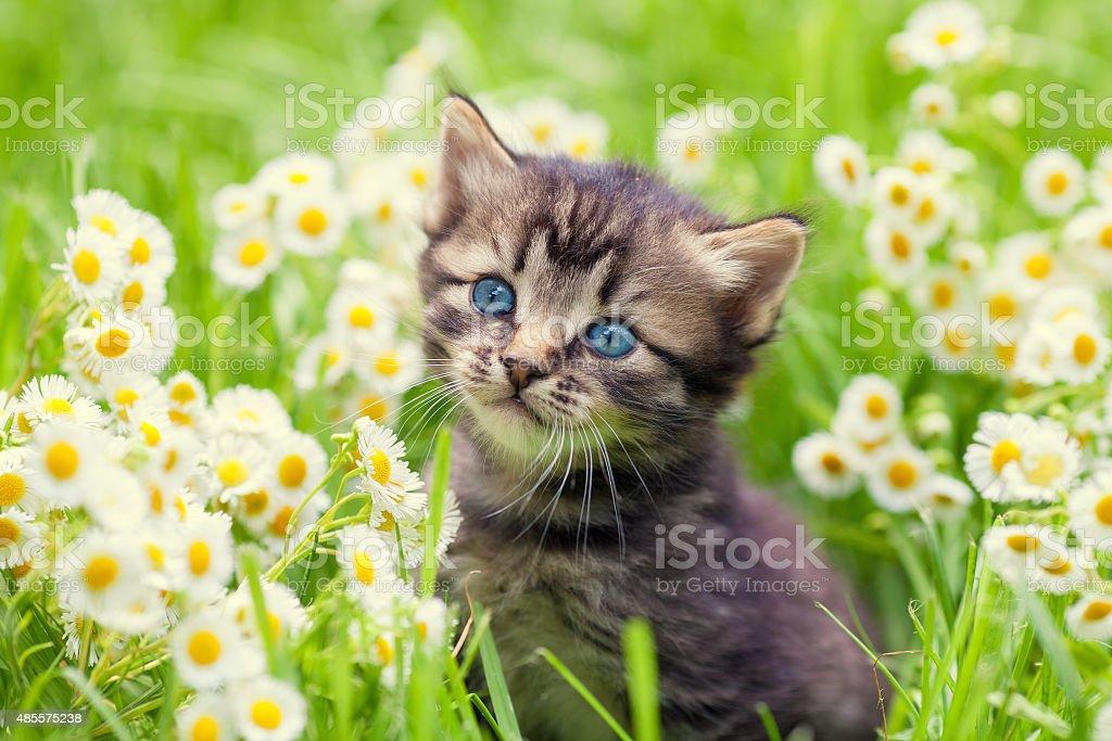 Portrait of cute little kitten outdoors in flowers stock photo
