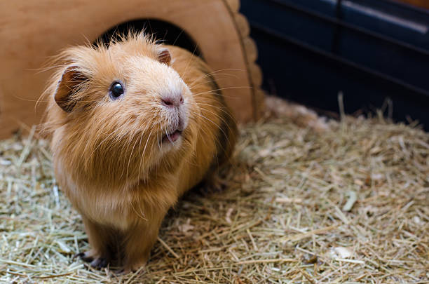 Portrait of cute red guinea pig stock photo