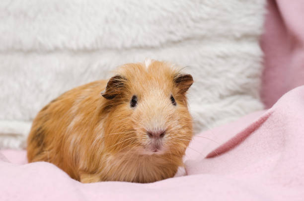 Portrait of cute red guinea pig. stock photo