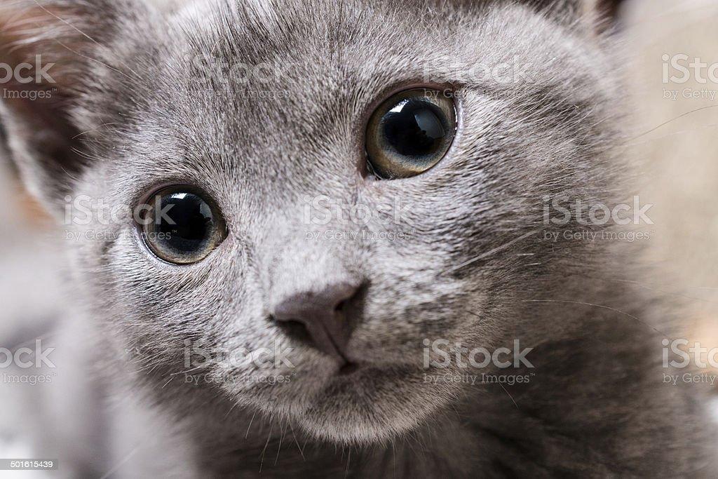 Porträt von niedlichen russian blue Kätzchen, Porträt Lizenzfreies stock-foto