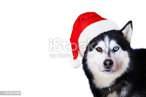 533229488 istock photo Portrait of cute siberian husky dog wearing red christmas santa claus hat. Xmas Husky dog isolated on white background 1191561046