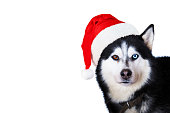 istock Portrait of cute siberian husky dog wearing red christmas santa claus hat. Xmas Husky dog isolated on white background 1191561046
