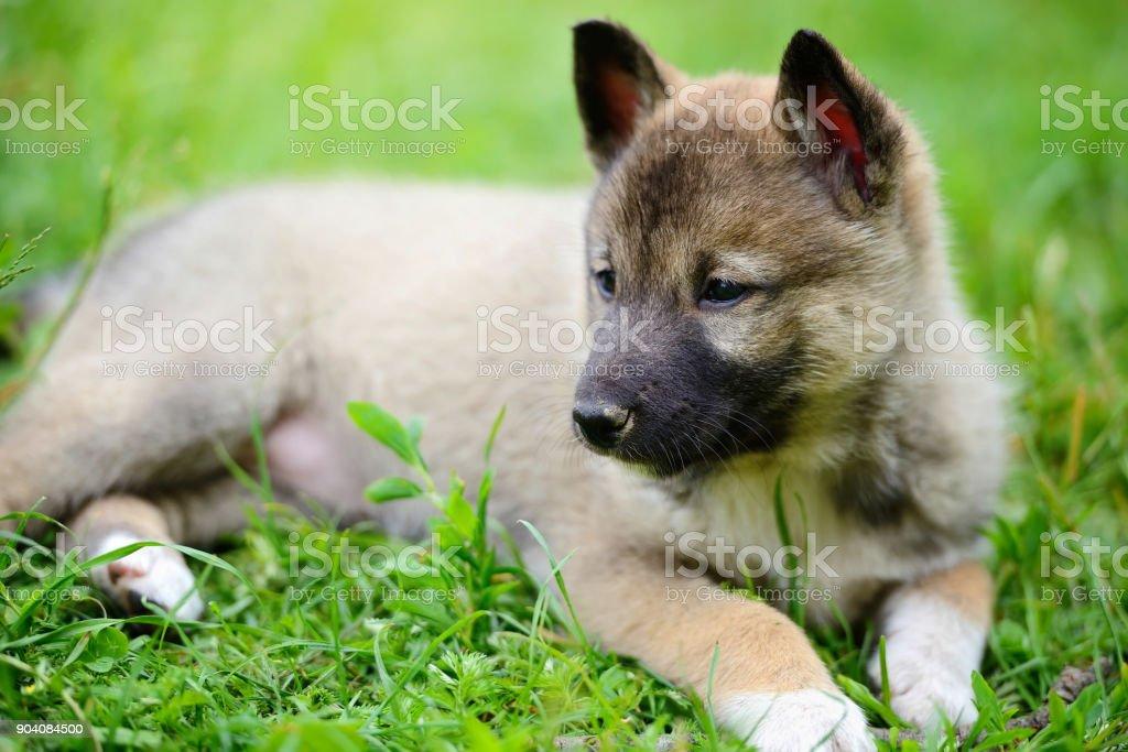 Portrait of cute Siberian Laika lying down on the grass stock photo